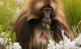 Where the World's Only Grass-Eating Monkeys Thrive